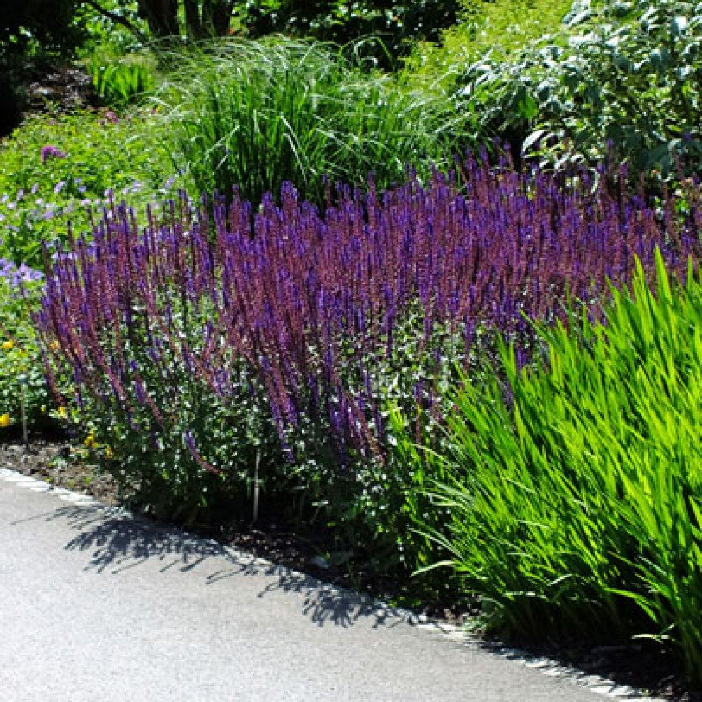 perennials by colour purple purple dorset perennials. Black Bedroom Furniture Sets. Home Design Ideas
