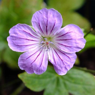 Geranium nodosum 'Hexham Big Eyes'