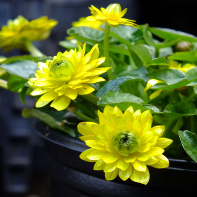 Ficaria verna Flore Pleno Group (Ranunculus ficaria)