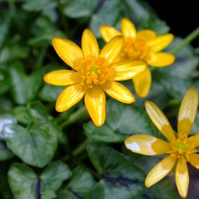 Ficaria verna Aurantiaca Group (Ranunculus ficaria)