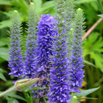 Veronica spicata 'Glory' ('Royal Candles', 'Ulster Dwarf Blue')