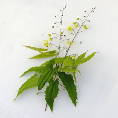 Epimedium ilicifolium