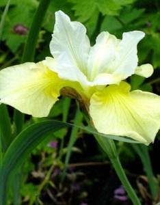 Iris  chartreuse bounty also sibirica dorset perennials rh dorsetperennials