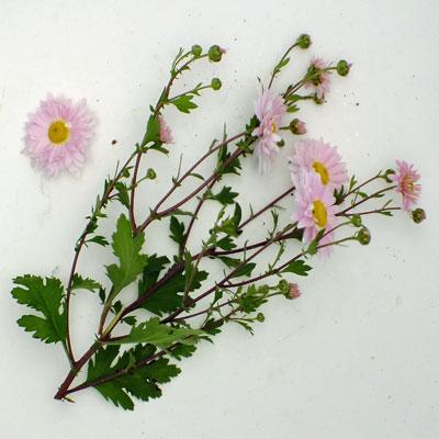 Chrysanthemum 'Innocence' – Korean : single