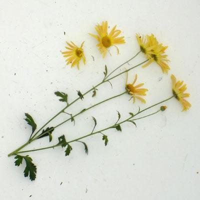 Chrysanthemum 'Mary Stoker' – Korean : single