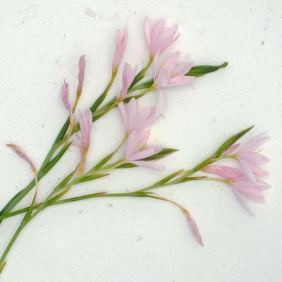 Hesperantha coccinea 'Wilfred H Bryant' (Schizostylis 'Pink Princess')