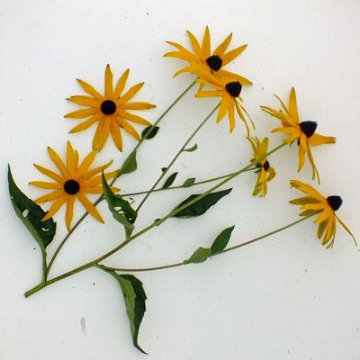 Rudbeckia fulgida var. sullivantii 'Goldsturm'