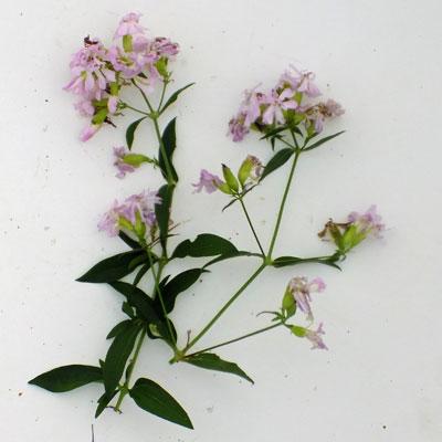 Saponaria officinalis 'Flore Pleno'