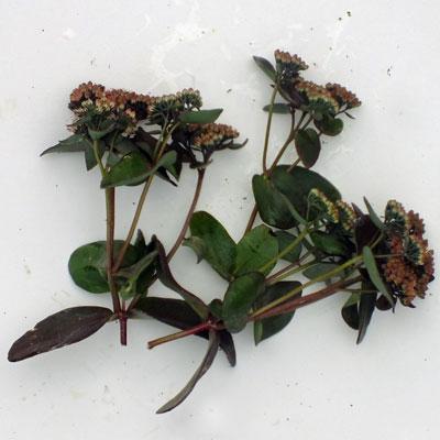 Sedum telephium 'Purple Emperor' (Atropurpureum Group)