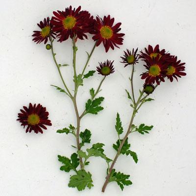 Chrysanthemum 'Cousin Joan'