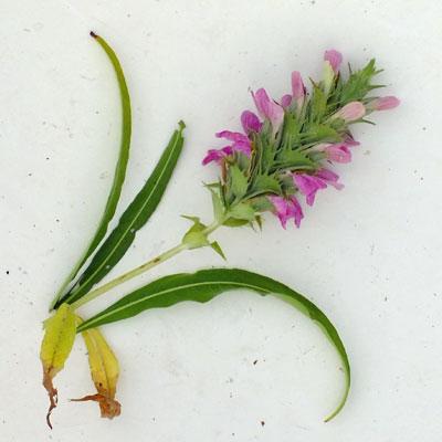 Acanthus dioscoridis