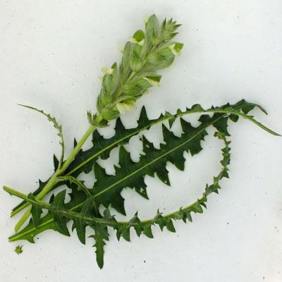 Acanthus hirsutus