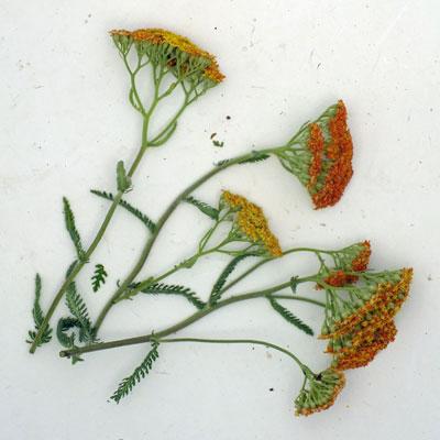 Achillea 'Terracotta'