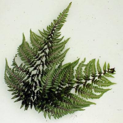 Athyrium nipponicum var pictum ('Metallicum')