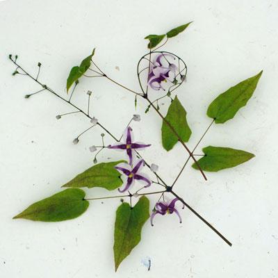 Epimedium acuminatum L575