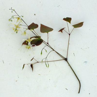 Epimedium acuminatum