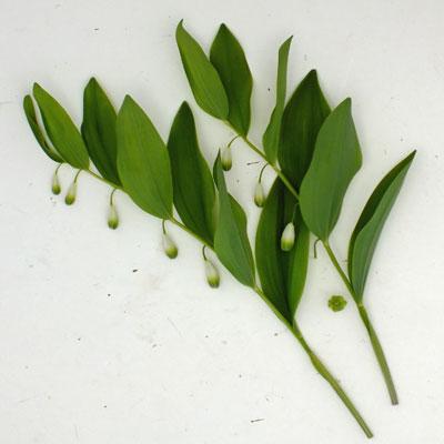 Polygonatum x hybridum 'Flore-Pleno'