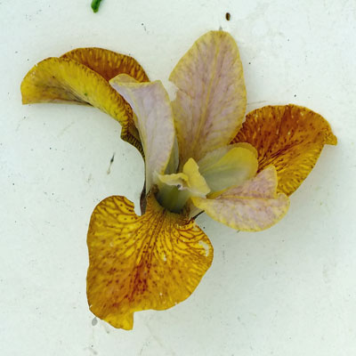 Iris 'Ginger Twist'