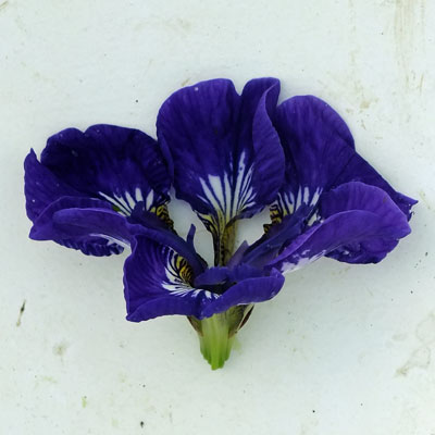 Iris 'Roku Oji'