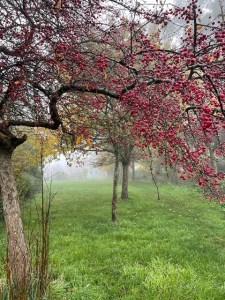 image of crab apple tree on a misty morning