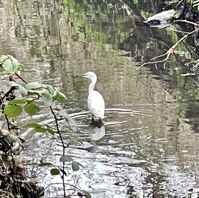 White Egret in the river