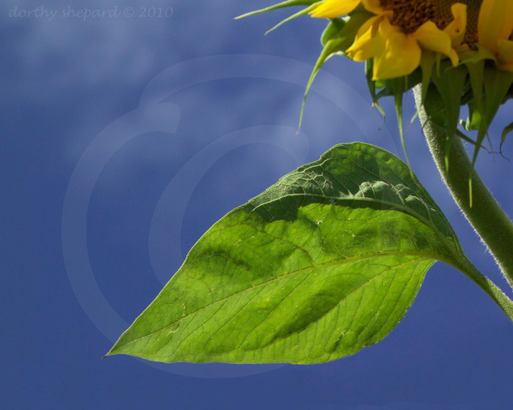 sunflower leaf copy  dorthy shepard