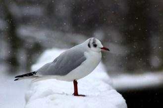 Black headed gull in the snow.