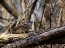 I think this one's a wren (but if it's not please let me know) . Nope,I am reliably informed by James at Country Corners that this is a dunnock. Thanks James :)