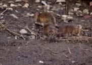 Rats scavenging under the bird feeder.