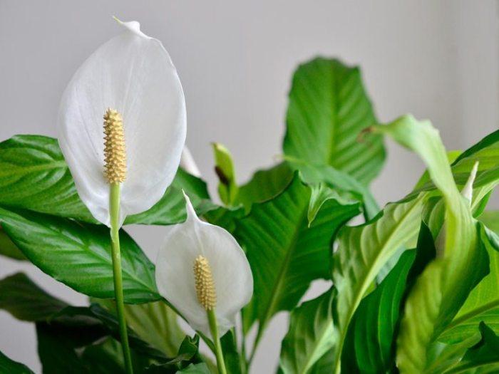 Спатифиллум: уход и размножение