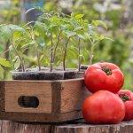 Неожиданный способ выращивать томаты