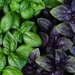 Как правильно выращивать базилик?