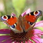 Какие цветы привлекают бабочек?