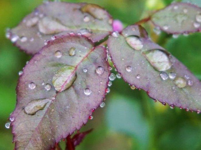 Открываем розы. Как правильно снимать укрытие с кустов?