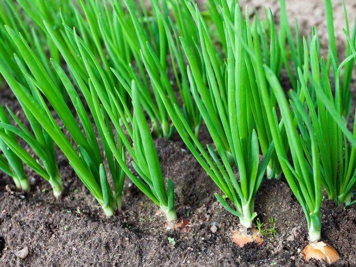 Каким образом круглый год собирать урожай зеленого лука