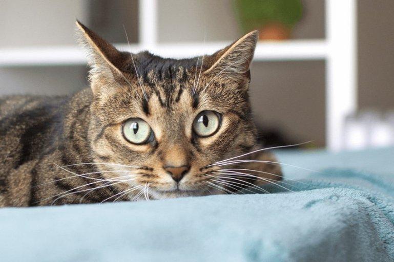 Как кормить кастрированную или стерилизованную кошку?
