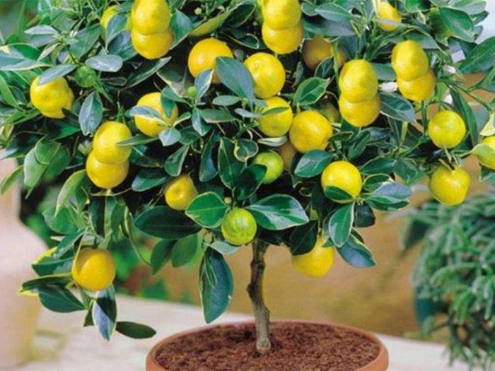 Как вырастить плодоносящий лимон в домашних условиях