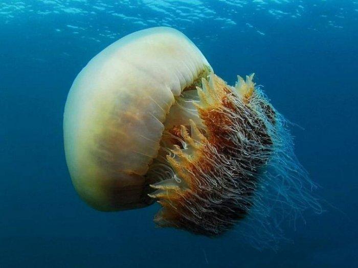 6 опасных видов медуз, к которым ни за что нельзя прикасаться