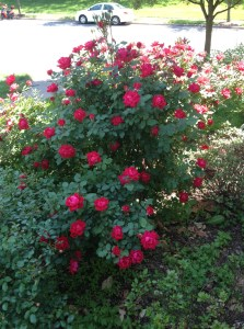 The roses at the Love Shake are in full bloom and growing wild! Time for some pruning.