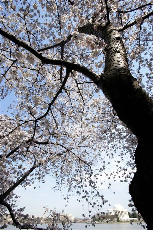 cherry-tree-jefferson-memorial