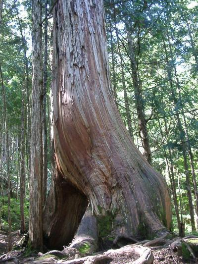 国産針葉樹である桧