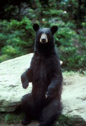 Чёрный медведь
