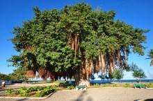 A grande cerejeira na praça de entrada da ilha.