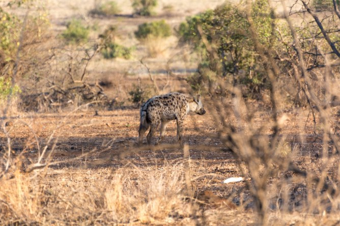 Hienas (Spotted-Hyenas)