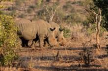 Rinocerontes Branco (White Rhino)