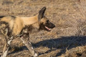 Cachorro Selvagem (Wild Dog)