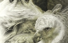 harpy_eagle_potraits_detail