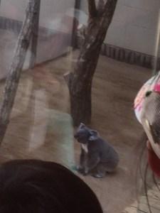 王子動物園のコアラ