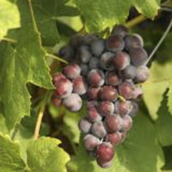 Buy New York Muscat Grape Vines For Sale   Double A Vineyards