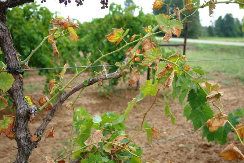 Pierces Disease of Grape  News